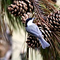 Img_0215-022 - Carolina Chickadee by Travis Truelove
