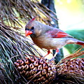 Img_0311 - Northern Cardinal by Travis Truelove