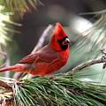 Img_0565-004 - Northern Cardinal by Travis Truelove