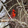 Img_0806 - Northern Cardinal by Travis Truelove