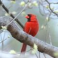 Img_0999-001 - Northern Cardinal by Travis Truelove