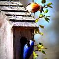 Img_1154 - Eastern Bluebird by Travis Truelove