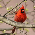 Img_1211-001 - Northern Cardinal by Travis Truelove