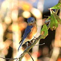 Img_145-005 - Eastern Bluebird by Travis Truelove