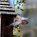 Img_1753-001 - Eastern Bluebird by Travis Truelove
