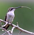 Img_1768-001 - Ruby-throated Hummingbird by Travis Truelove