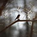 Img_2287 - Eastern Bluebird by Travis Truelove