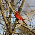 Img_2757-001 - Northern Cardinal by Travis Truelove