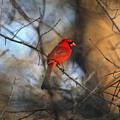 Img_2866-001 -  Northern Cardinal by Travis Truelove