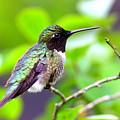 Img_3524-002 - Ruby-throated Hummingbird by Travis Truelove