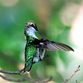 Img_4595-004 - Ruby-throated Hummingbird by Travis Truelove