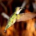 Img_4625 - Ruby-throated Hummingbird by Travis Truelove