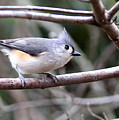 Img_4672 - Tufted Titmouse by Travis Truelove