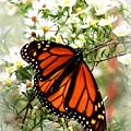 Img_5284-001 - Butterfly by Travis Truelove