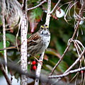 Img_6624-002 - White-throated Sparrow by Travis Truelove