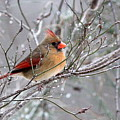 Img_6770 - Northern Cardinal by Travis Truelove