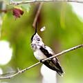 Img_7436-020 - Ruby-throated Hummingbird by Travis Truelove