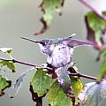 Img_9114-003 - Ruby-throated Hummingbird by Travis Truelove