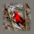 Img_9241 - Northern Cardinal by Travis Truelove