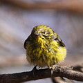 Img_9853 - Pine Warbler -  Very Wet by Travis Truelove