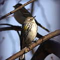 Img_9896 - Yellow-rumped Warbler by Travis Truelove
