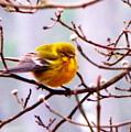 Img_9900 - Pine Warbler by Travis Truelove