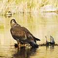 Immature Bald Eagle by Dennis Hammer