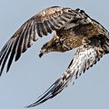 Immature Bald Eagle Leaving A Perch by Stephen Johnson