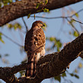 Immature Coppers Hawk by Sharon Talson