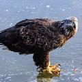 Immature Eagle Having Lunch by Terri Morris