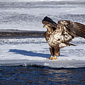 Immature Eagle On Ice by Ira Marcus