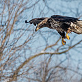 Immature Eagle Wheels Down by Ira Marcus