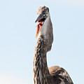 Immature Great Blue Heron Sticks Toungue Out by Matt Suess