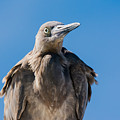 Immature Reddish Egret by John Greco