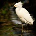 Immature Snowy Egret by Matt Suess