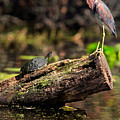 Immature Tri-colored Heron And Peninsula Cooter Turtle by Matt Suess