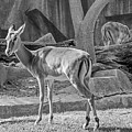 Impala    Black And White by Susan McMenamin