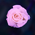 Imperfect Rose #1 by Gina Gallagher