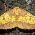 Imperial Moth by David Lee Thompson