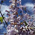 Imperial Tree Flowers by Augustus Gallia