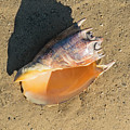 Imperial Volute Seashell by Frank Wilson