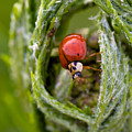 Imposter Ladybug by Venetta Archer