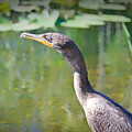 Impressionable Cormorant by Judy Kay