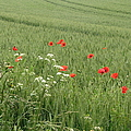in Flanders Fields the  poppies blow by Mary Ellen Mueller Legault