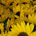 In Full Bloom - Sunflowers by Stacy Devanney