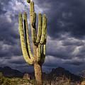 In Search Of That Perfect Saguaro  by Saija  Lehtonen
