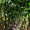 In The Corn  by Joanne Coyle