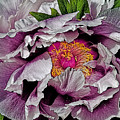 In The Eye Of The Peony by Chris Lord