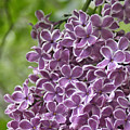 In The Garden. Lilac by Ben and Raisa Gertsberg