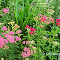 In The Garden - Yarrow by Chholing Taha